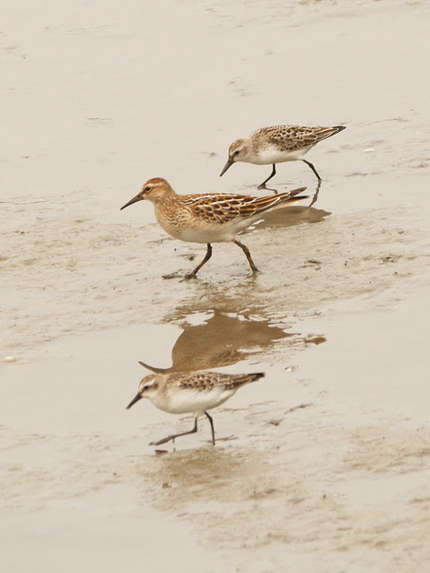 Ed Gaillard: birds &emdash; Pectoral and Semipalmated Sandpipers, Inwood Hill Park