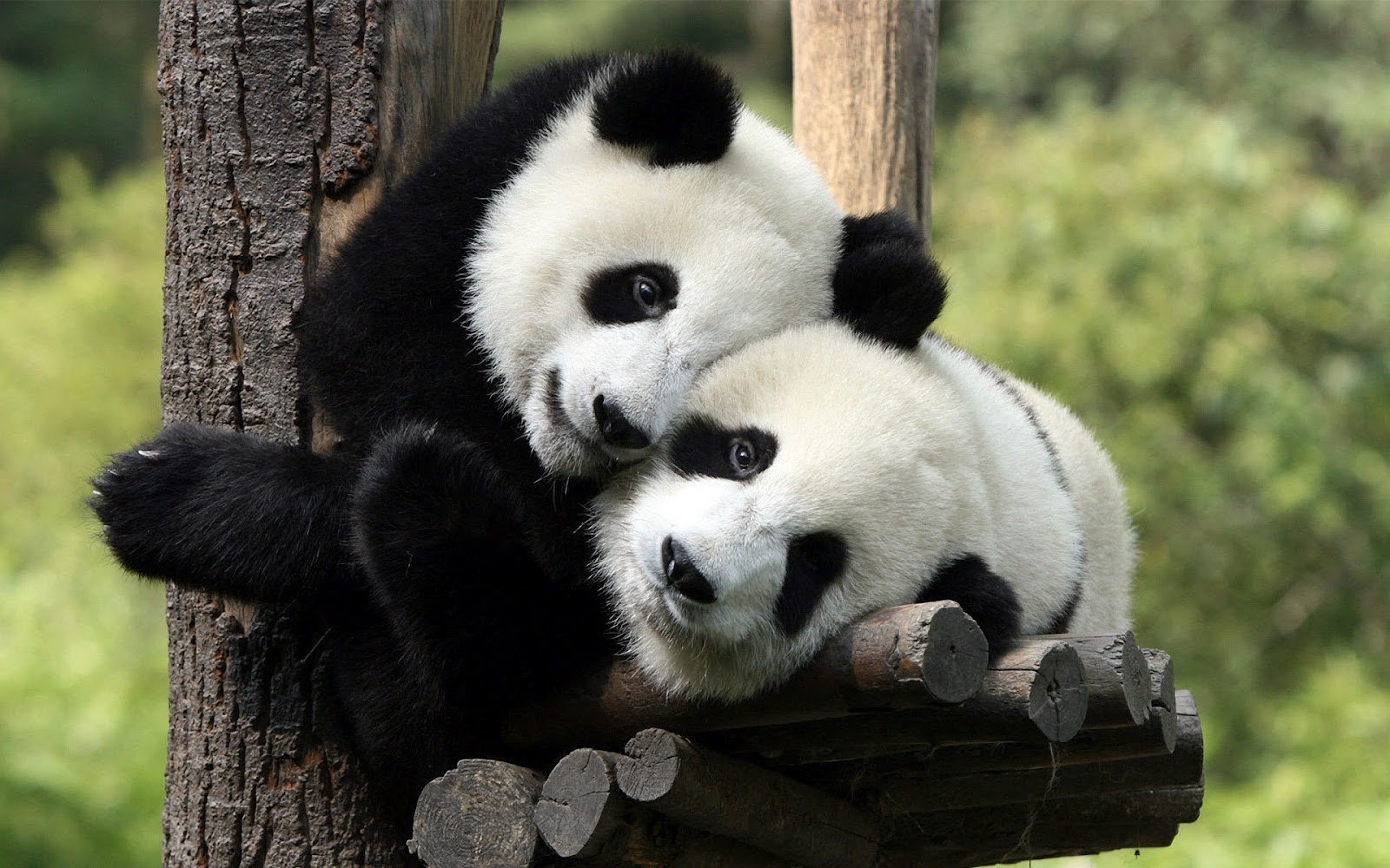 Panda Wallpapers Wallpapers High Quality Download Free