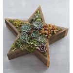 Wood Star Succulent Wood Star Succulent - Plants