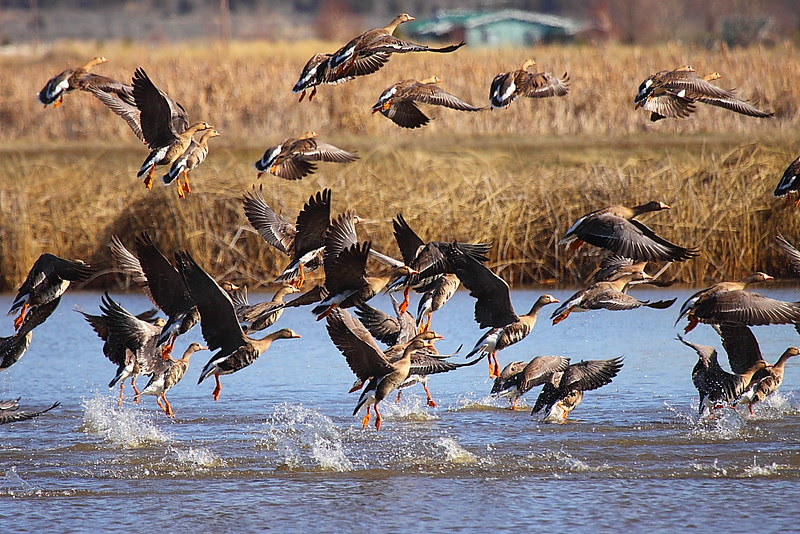 IMG_1282 White-Fronted Geese, Ash Creek Wildlife Area