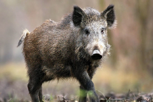 Top 10 Tips on Hog Hunting for Beginners - Enjoy Hunting Life