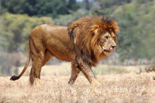 Lionaid: τα λιοντάρια της Αφρικής κινδυνεύουν