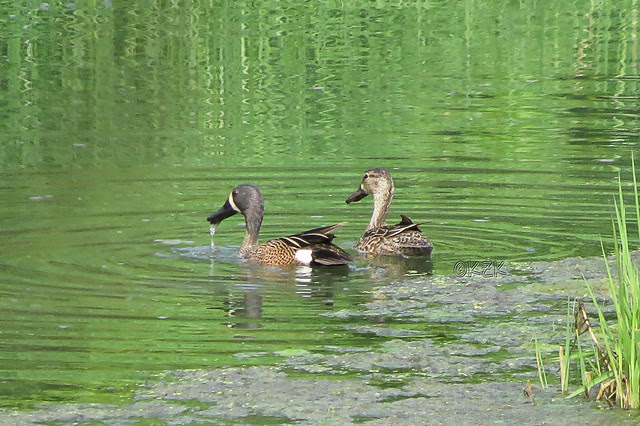 IMG_3438BlueWingedTeal