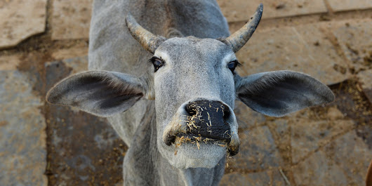 Beef Ban Pushing Maharashtra Farmers Into Penury