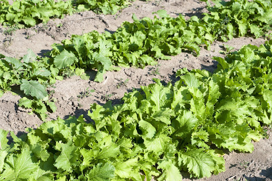 Drought Resistant Vegetables: Growing Drought Tolerant Vegetables In Gardens