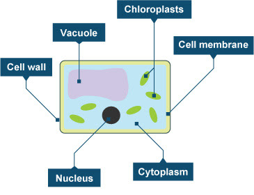 Diagram of a plant cell