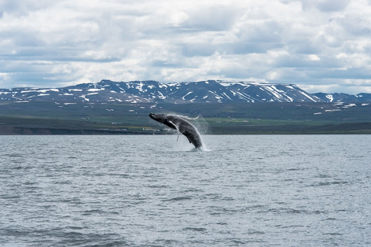 The perfect whale watching at Húsavík Iceland
