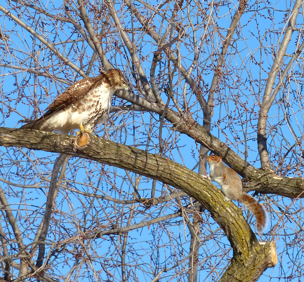 Red tail vs squirrel