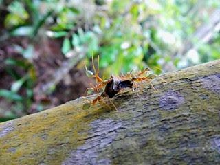Green Ant, Daintree NP