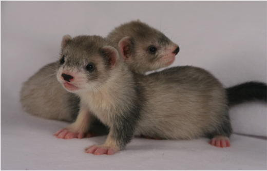 The draft genome sequence of the ferret (Mustela putorius furo) facilitates study of human respiratory disease - Nature Biotechnology