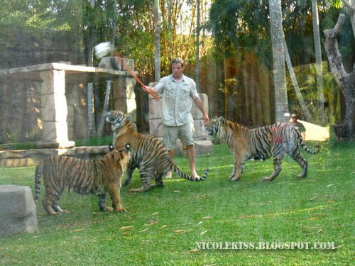 playing with tigers on land