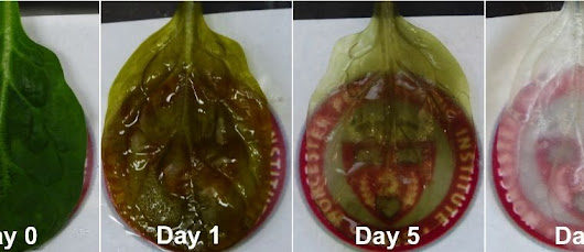 Spinach leaf transforms into sheet of beating human heart cells