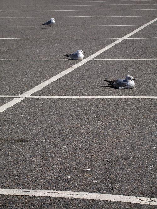 parking lot sea gulls