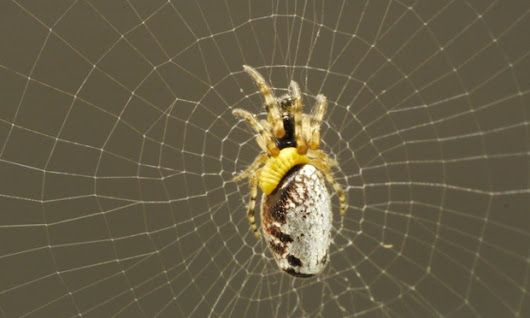 Wasp masters turn enslaved spiders into zombies to build their nests | Environment | The Guardian