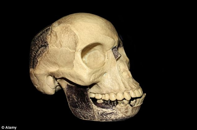 Fraud: A replica model of the 'Piltdown Man' hoax skull. The original was comprised of a human skull and an ape jaw, possibly from an organutan
