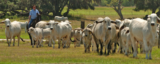 Osceola drafting plan to buy development rights from ranchers