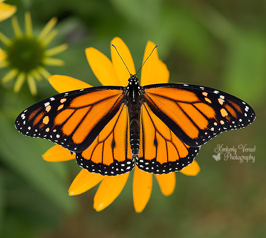 Save The Monarchs - Kimberly Vensel