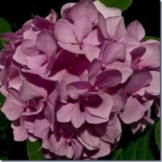65 hortenzija