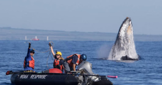 Whale with 285 feet of rope stuck in mouth is freed off Hawaii - CBS News