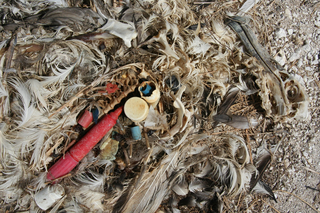 http://upload.wikimedia.org/wikipedia/commons/9/9d/Albatross_chick_plastic.jpg