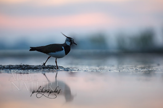 PHOTO : le vanneau huppé, un charadriidé commun facile à photographier