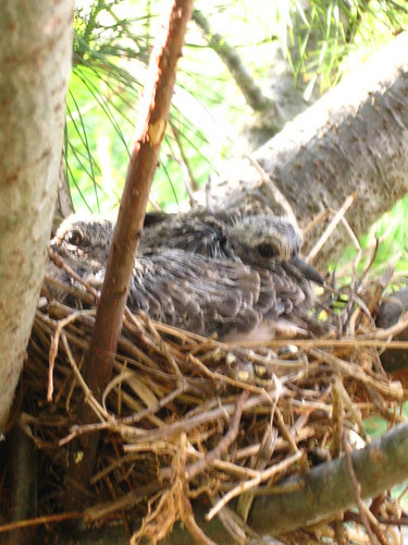 Baby Doves