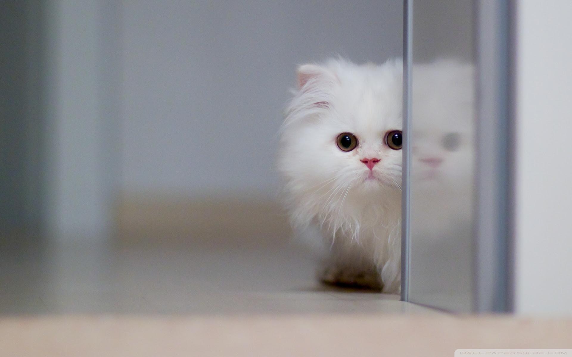 Cute White Cat 4k Hd Desktop Wallpaper For 4k Ultra Hd Tv Wide
