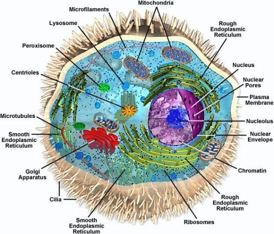 Eukaryotic Animal Cell