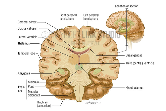 20 New Lateral View Of Sheep Brain Labeled