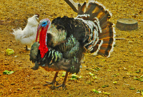 Resplendent Turkey Steals The Show