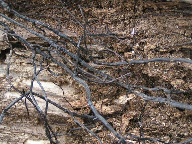 perierga.gr - Ένα από τα μεγαλύτερα μανιτάρια στον κόσμο μεγαλώνει υπόγεια!