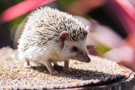 Animal Profile: A Prickle of African Hedgehogs - Sacramento Zoo