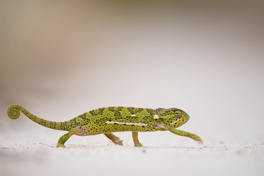 Photo of the Day: Chameleon Crossing (or What Makes a Good Safari Great)