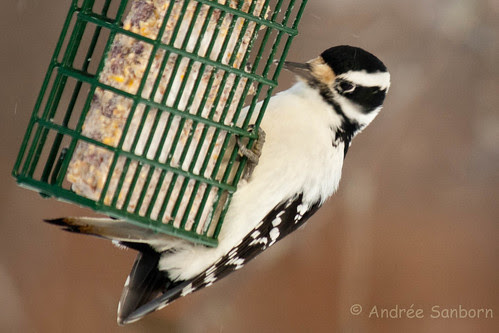 Hairy Woodpecker -10.jpg
