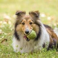 Skin Disorders of Shetland Sheepdogs | eHow