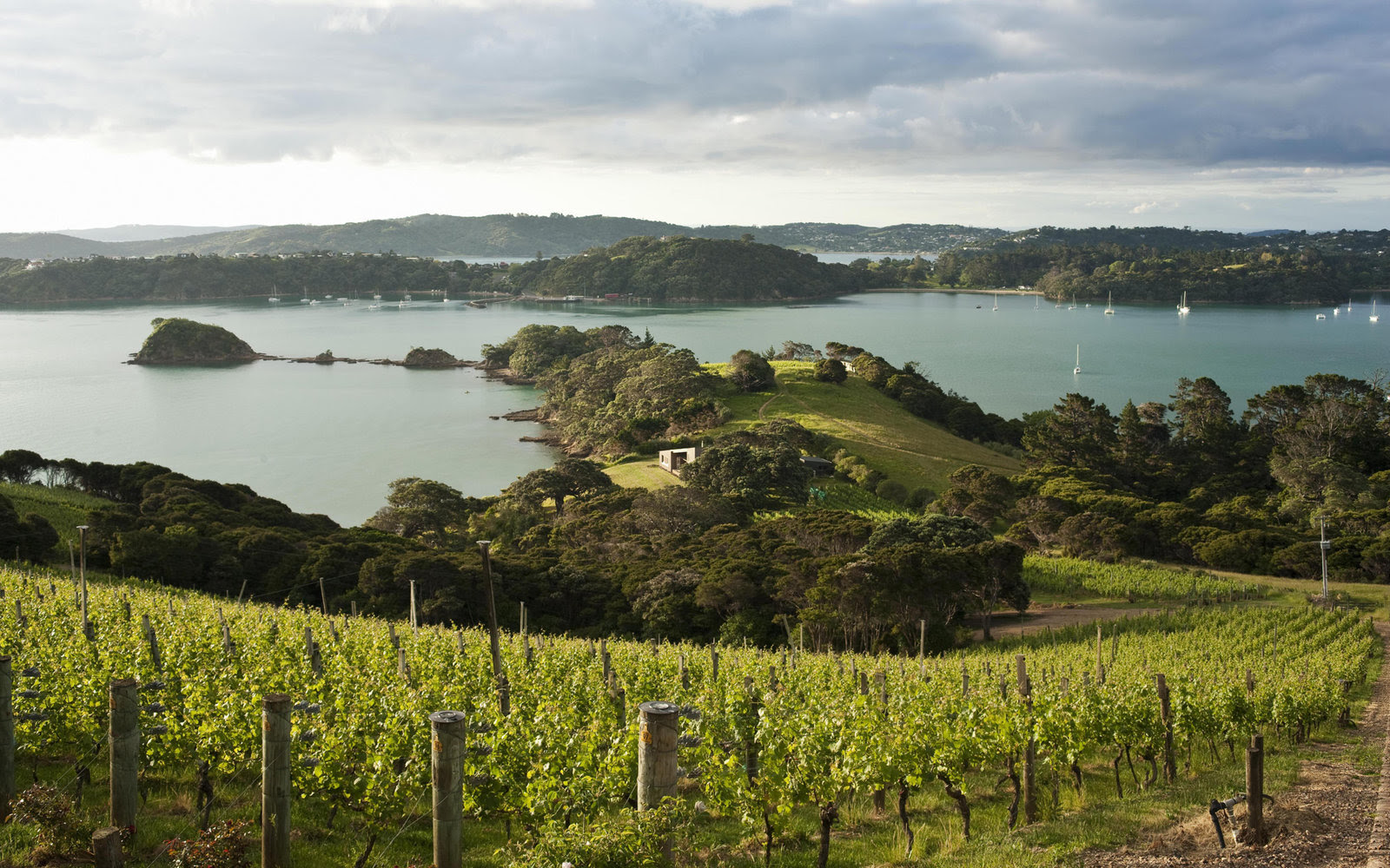 Late evening sun highlights grape vines overlooking Kennedy Point, Waiheke Island, New Zealand