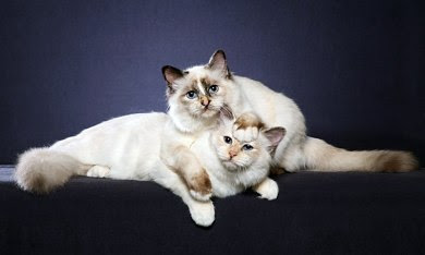 Birman kittens cats