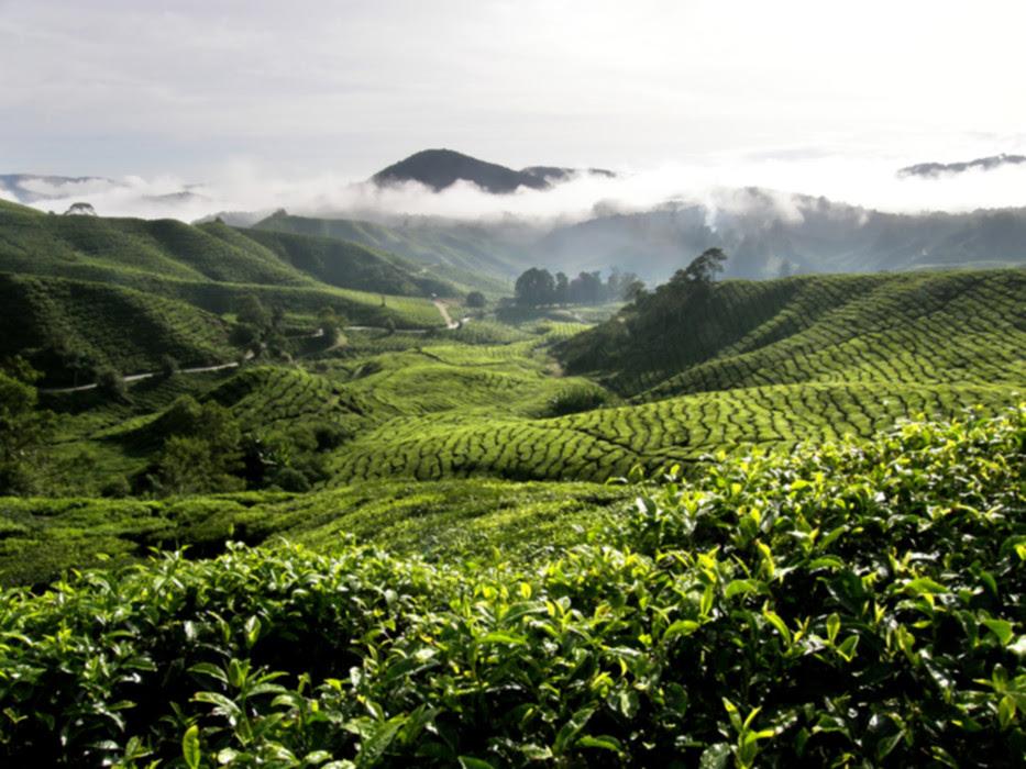 Tea_Plantation.jpg