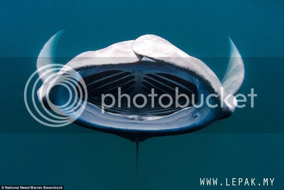 ikanparigergasi2 Gambar Ikan Pari Gergasi Terbesar Di Dunia