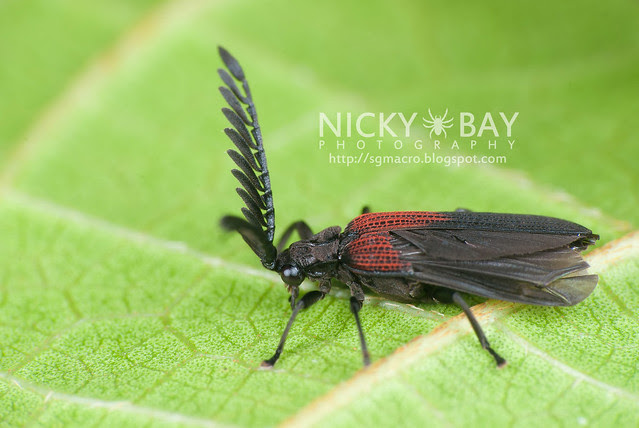Net-winged Beetle (Lycidae) - DSC_2768
