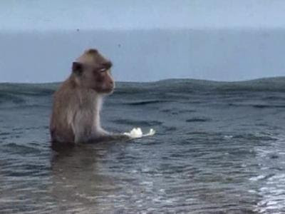 The Thai navy has started feeding a troupe of long-tailed macaques...