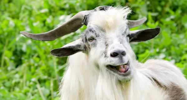Goat_iStock