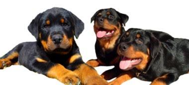 Foto de unos Rottweilers