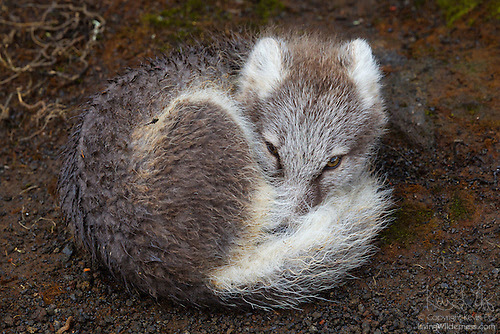 Young Arctic Fox Curled Up, Iceland