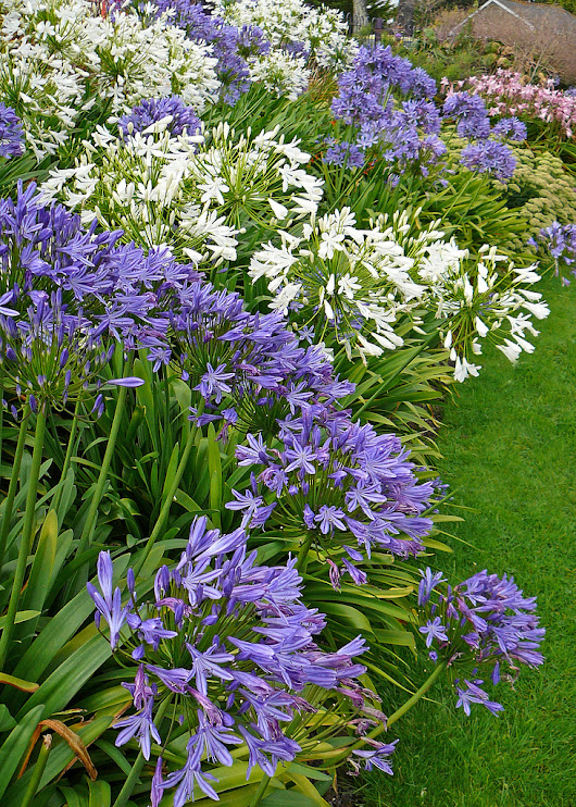 How To Plant Agapanthus And Agapanthus Care