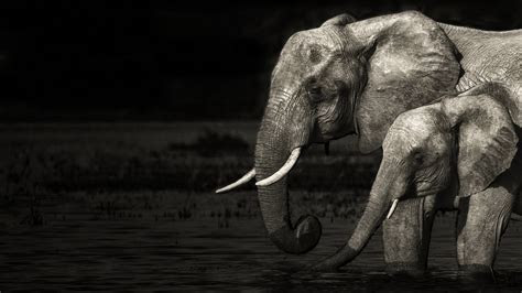 Desktop Elephant HD Wallpapers   wallpaper.wiki