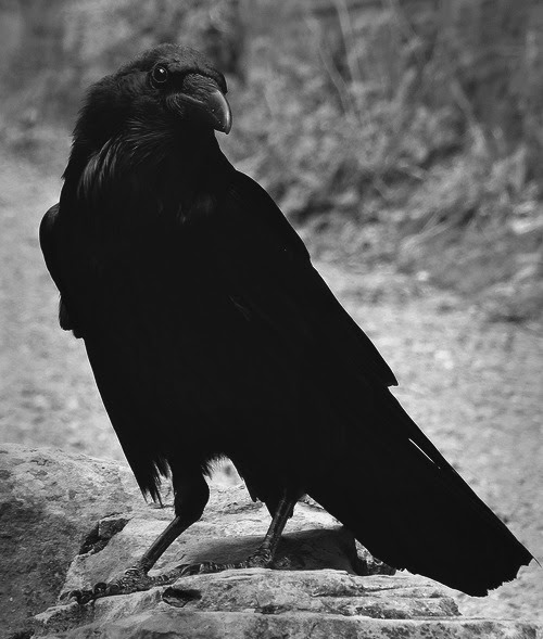 THE CROWS ARE OUT TONIGHT. THEY ARE WAITING AND WATCHING. WHO WILL BE THE FIRST TO DIE? WE WILL BE READY FOR HIM.