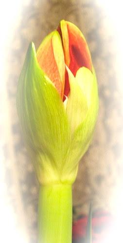 Amaryllis, 2. kukkavarsi by Anna Amnell
