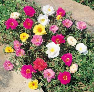http://fichas.infojardin.com/foto-crasas/portulaca-grandiflora.jpg