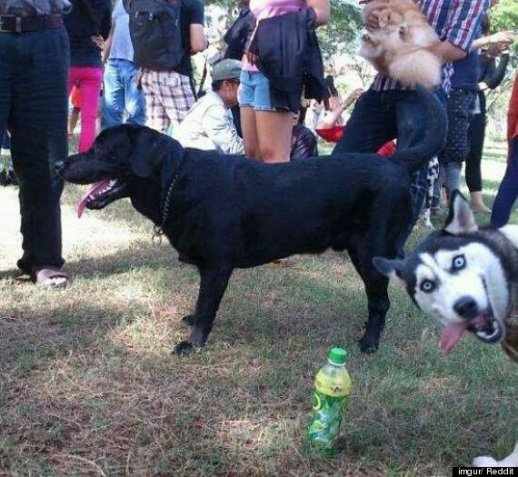 Husky photobombing!